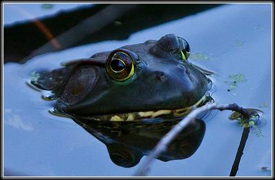 Bullfrog, in natural light