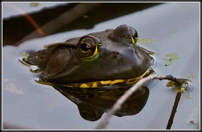 Bullfrog, in