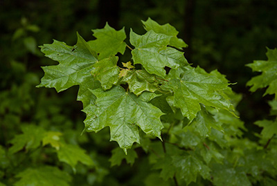 Young Maple Tree in the rain